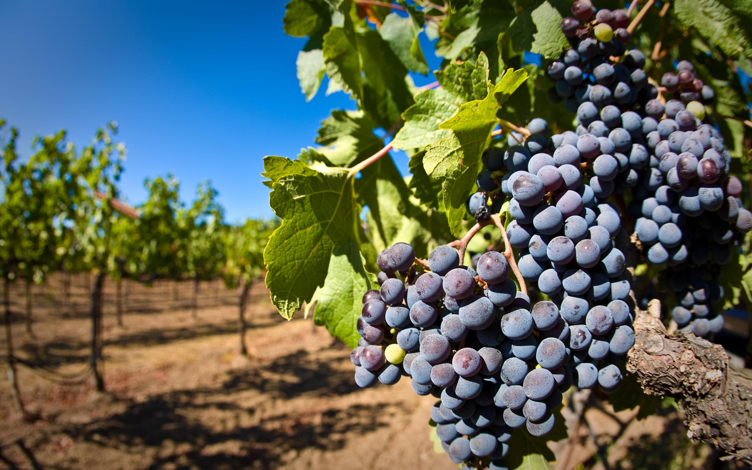 wine vineyard grapes producing wine bottles vine planting european union